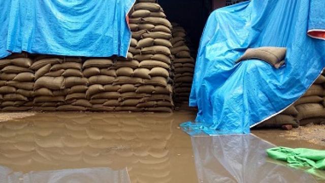 आंधी और बारिश से खरीद केंद्रों पर भीगा खुले में पड़ा गेहूं